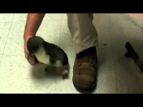 原來企鵝也會怕養,太可愛了!