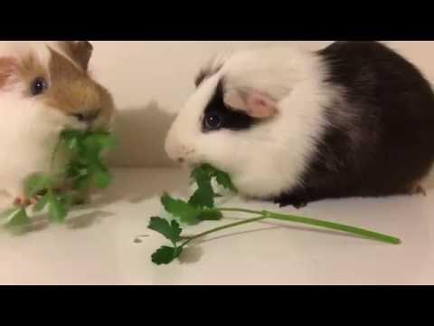Pablo ja Custard -marsut syövät kilpaa, kumpi vie voiton?