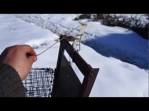 ловля хорьков капканами видео