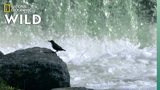 Birds Fly Through Water For Food | Wild Nordic by Nat Geo WILD