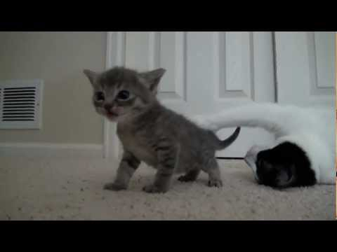 kitten - Leave a Like for more Kittens! Kitten Playlist: http://www.youtube.com/playlist?list=PL766A145C810D8619&feature=view_all 4 weeks old, these kittens are start...