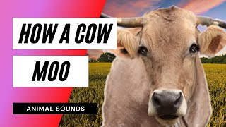 Video The Animal Sounds: Cow Moo - Sound Effect - Animation MP3, 3GP, MP4, WEBM, AVI, FLV Januari 2019