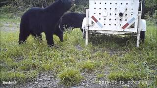 Video Black Bear Sets Trap and Gets Caught MP3, 3GP, MP4, WEBM, AVI, FLV Agustus 2017