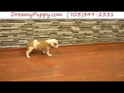 Gorgeous EngAm Bulldog Female Puppy