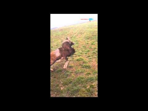 Tančící muflon