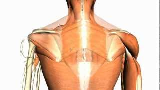 Extrinsic Muscles Of The Back - Anatomy Tutorial