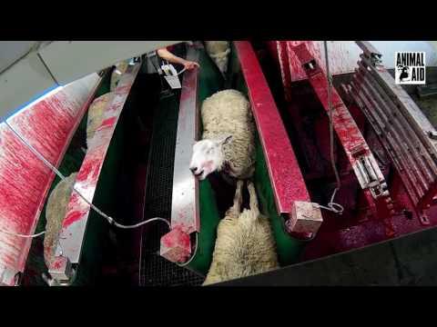 CCTV拍到一家HALAL的屠宰場正在把一隻隻的綿羊…整個過程讓人看了說不出話來!