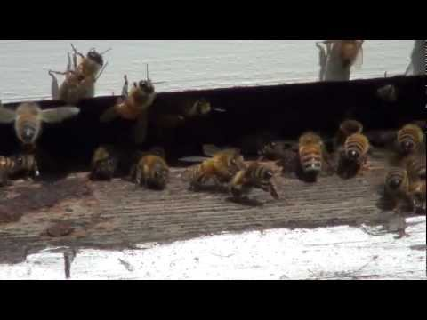 Honey Bees at the Hive Entrance