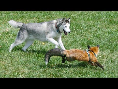 Una volpe ed un cane amici