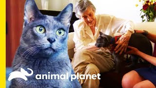Jake The Korat Makes The Purr-fect Therapy Cat | Cats 101 by Animal Planet