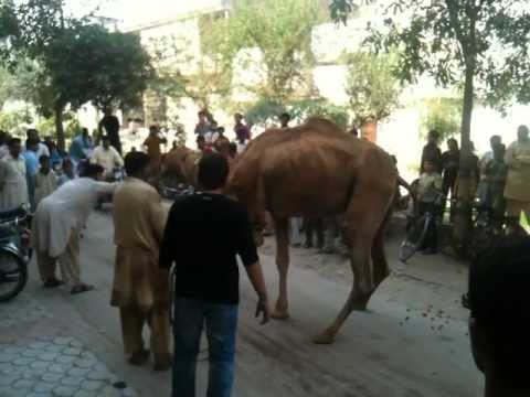 Dangerous Cow Qurbani http://youtubeherhaler.com/watch?v=15ih5vFxs9I