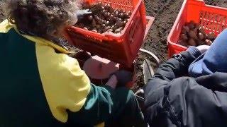 La semina delle patate!