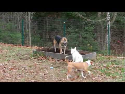 asian dog fight