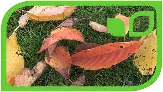 Prunus Kanzan Blätter - Schönheit am Boden