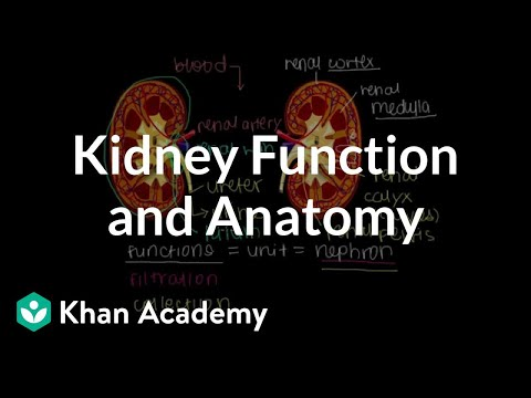 Kidney function and anatomy (video) | Khan Academy
