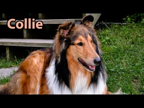 collie - Buy the DVD! http://www.janson.com Finally, all of our favorite dogs - on one DVD! This indispensable