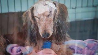 Operace mozku psa | jezevčík Sára