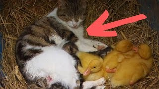 Orphaned Ducklings In Desperate Need Of A Home Get Taken In By An Unlikely New Family by Did You Know Animals?