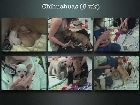 Chihuahua (Purebreed) Family Album—ADOPTED