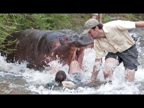 hippopotamus attack