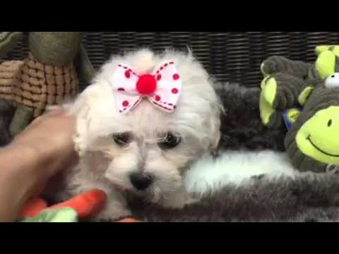Sweet, Cotton ball Shih-poo puppy