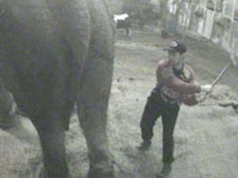Impactante Video de un Elefante Maltratado por un Circo Británico