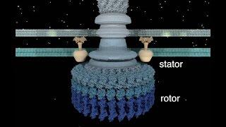 The Bacterial Flagellar Motor