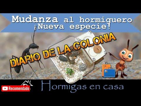 Videos caseros -  Nueva especie se muda al hormiguero casero  Hormigas en casa
