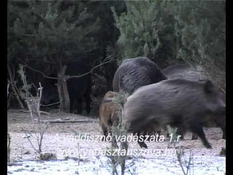A vaddisznó vadászata 1