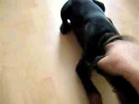 0 Cute Dobermann Puppies