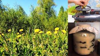 Одуванчик - желтая