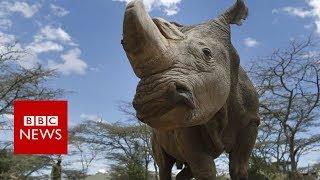 シロサイの亜種、キタシロサイ絶滅の可能性。体外受精にわずかな期待が残る