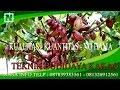 cara pemupukan tanaman kakao berbuah lebat