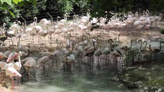 Greater flamingos at Parco Natura Viva, Italy (2017)