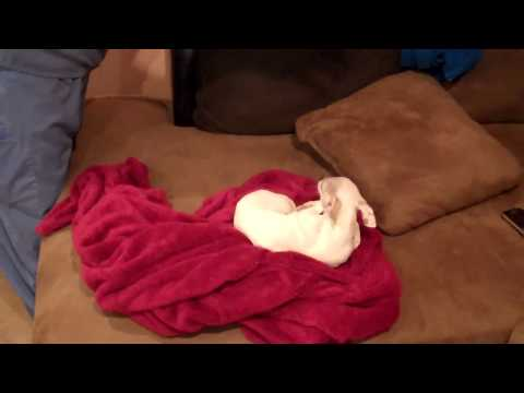 Funny chihuahua does not want to be touched. wimpy dog!
