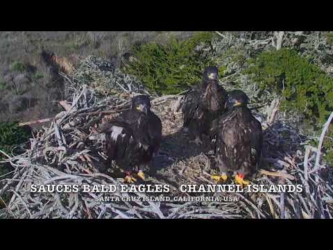 BALD EAGLES 🐥🐥🐥 DRAMA AT SAUCES ◕ EAGLETS MISBEHAVING BADLY ◕ EAGLET PUSHED OVER EDGE ◕