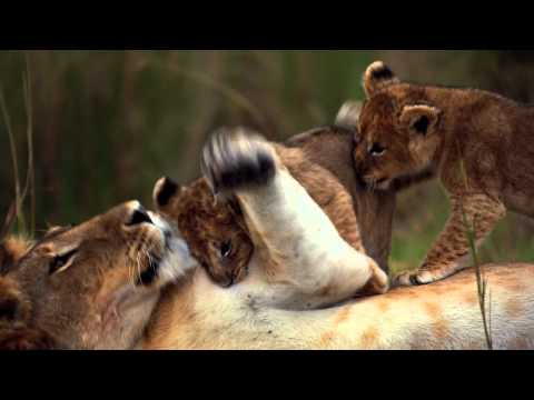 "0 See ""African Cats"" and Help Save the Savanna"