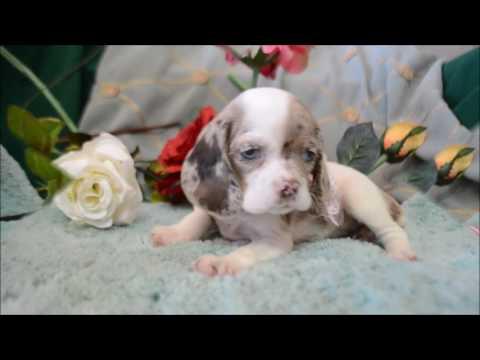 Praline Blue-Eyes DachshundCocker Puppy for sale