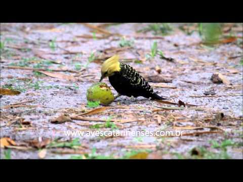 Pica-pau-de-cabeça-amarela - Cristiano Voitina