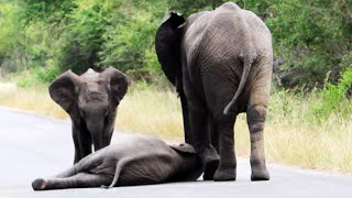 Video Herd of Elephants Help an Elephant Calf After Collapsing in the Road MP3, 3GP, MP4, WEBM, AVI, FLV Agustus 2019