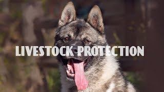 What are the best guard dog breeds for livestock? What are the best security dogs for poultry protection at night? If you own a flock of sheep, a herd of cattle or poultry, then you will need to protect your animals from predators, thieves and other unwanted elements. If you use poisons or traps, your animals may end up being casualties. So, you should consider safer alternatives and one of such alternative is a guard dog.