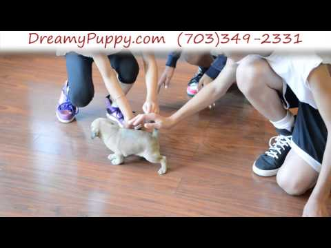 Handsome Puggle Puppy Male 2