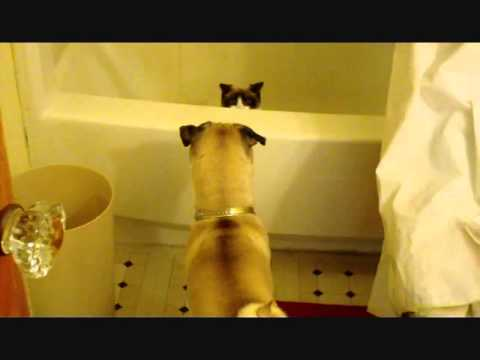 Watch Two Pugs In Action