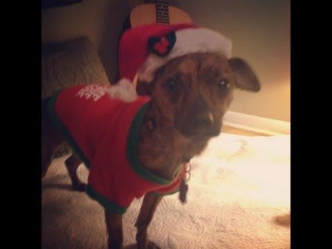 Brindle Chihuahua says I LOVE YOU
