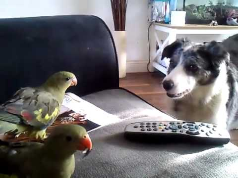 regent Parrot attacking a border collie dog