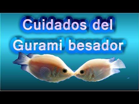 El saber es conocimiento pez gurami besador for Pez escalar enfermedades