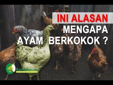 Tahukah Kamu Kenapa Ayam Berkokok dipagi hari ?