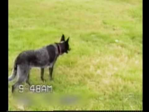 Smart Dogs - Visit http://www.kingofforwards.com/ This dogs listens to every command from his owner before getting the ball on the count of three (3). A Very Smart Dog, m...