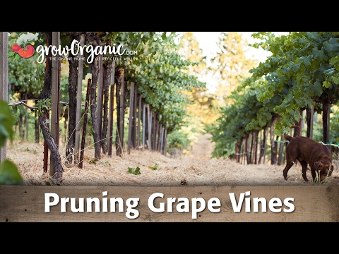 Pruning Grape Vines