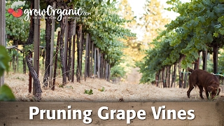 Pruning Grape Vines